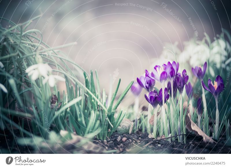 Spring flowers in the garden Design Leisure and hobbies Garden Nature Plant Flower Leaf Blossom Park Meadow Forest Crocus Snowdrop Spring fever Spring day
