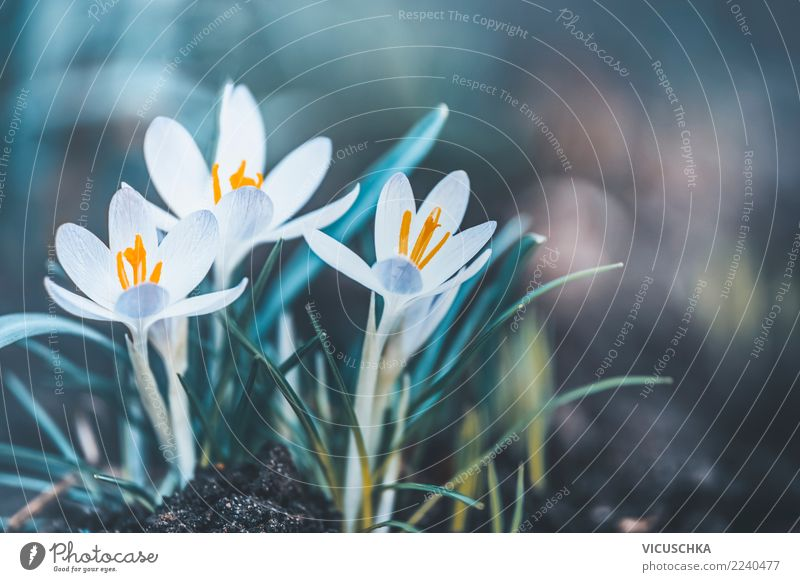Spring nature with crocuses Lifestyle Design Garden Nature Plant Flower Leaf Blossom Park Background picture Crocus Spring fever Spring flower Spring crocus