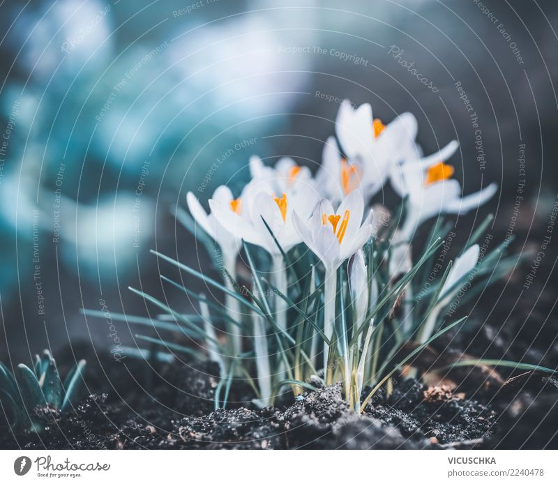 Spring nature with first crocuses Lifestyle Design Garden Nature Plant Flower Leaf Blossom Park Meadow Forest Crocus Exterior shot Colour photo Close-up