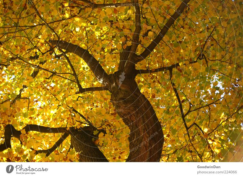 Nature Old Tree Beautiful Autumn Emotions Environment Moody Gold Large Tall Natural Authentic Simple Many Tree trunk