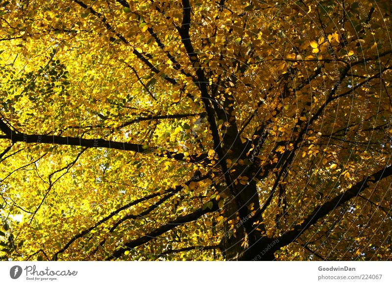 Nature Tree Beautiful Plant Autumn Emotions Environment Moody Gold Large Tall Natural Authentic Simple Many Tree trunk