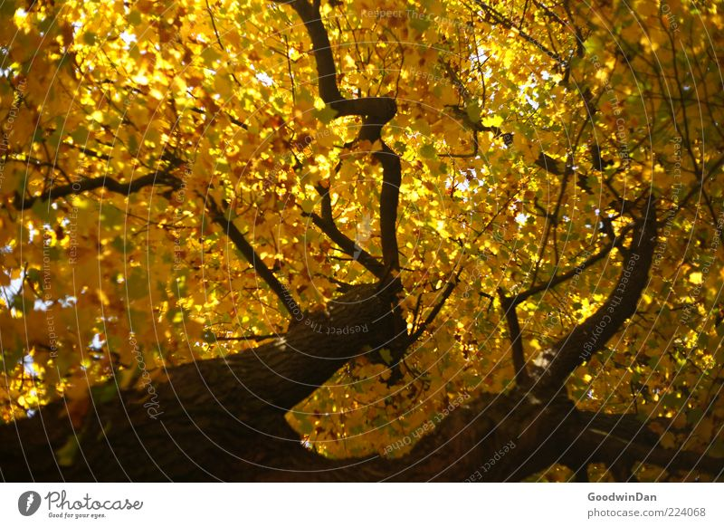 Nature Old Tree Beautiful Autumn Emotions Environment Moody Weather Gold Large Tall Authentic Simple Many Tree trunk