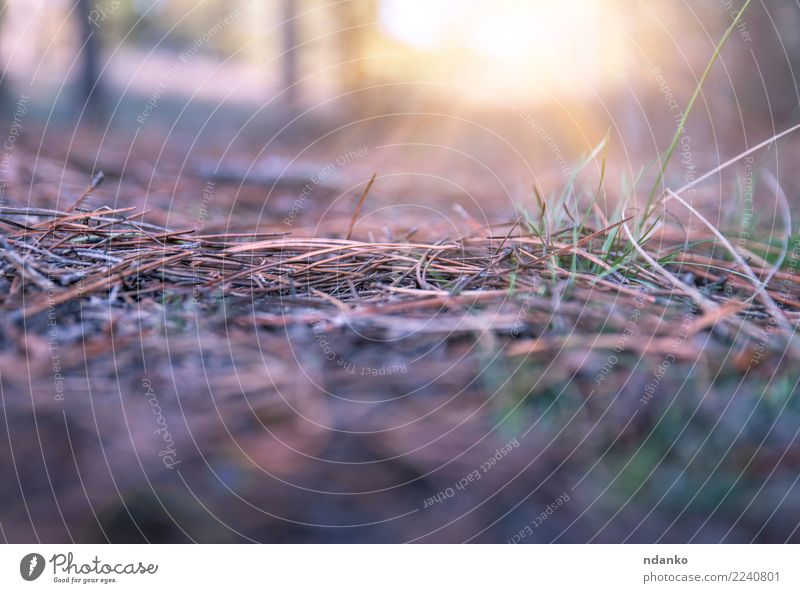 landscape in the forest Sun Nature Landscape Earth Autumn Grass Forest Bright Yellow Gray needles sunny Colour photo Deserted Copy Space bottom