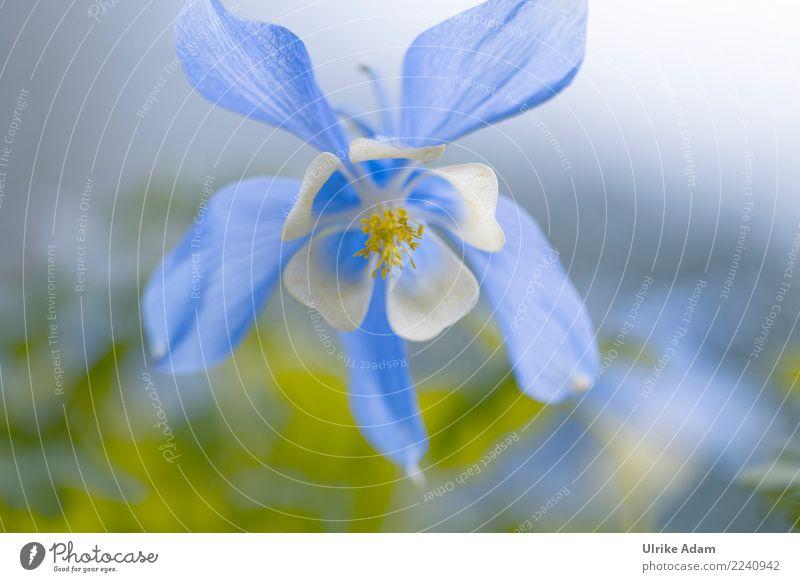 Delicate columbine Garden Mother's Day Nature Plant Spring Summer Flower Blossom Aquilegia Park Blossoming Soft Blue White Spring fever Romance Pistil