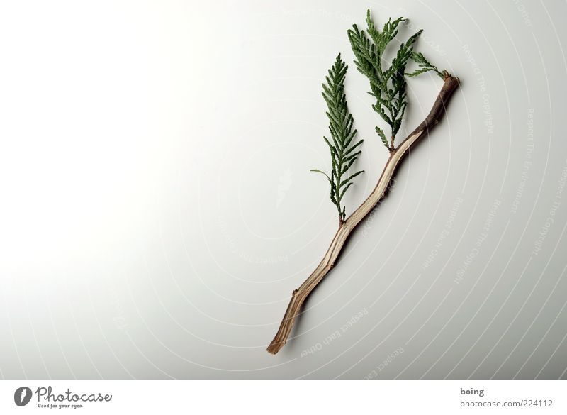 Plant Small Lie Growth Bushes Twig Arrange Tree Cypress Craft (trade) Floristry Thuja Bright background