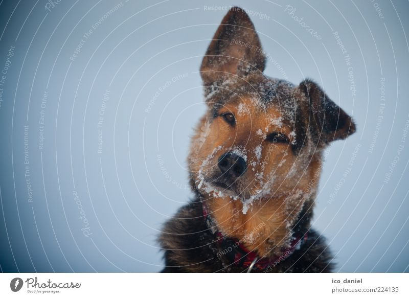 ice dog Watchdog Dog's snout Animal face Animal portrait Lop ears Isolated Image Bright background Vignetting Cold Winter Snow Ice Frost Looking into the camera