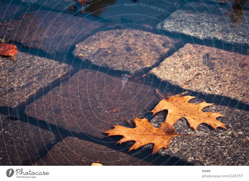 side by side Water Autumn Climate Leaf Street Authentic Wet Natural Beautiful Brown Autumn leaves Puddle Surface of water Oak leaf Early fall Cobblestones