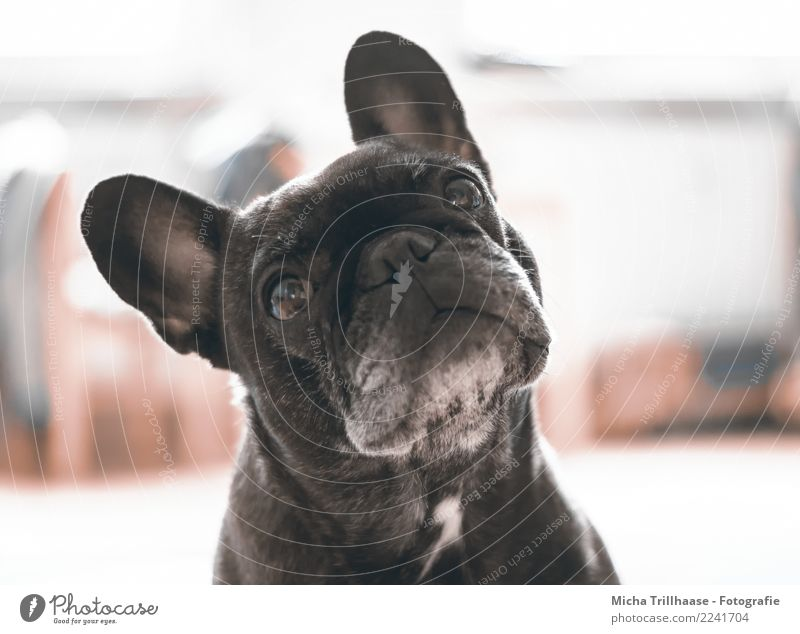 expectant Animal Pet Dog Animal face Pelt French Bulldog Eyes Ear Nose Muzzle 1 Observe Glittering Listening Illuminate Looking Playing Friendliness Near