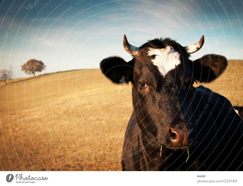 cow Organic produce Nature Animal Farm animal Cow Animal face Natural Love of animals Country life Organic farming Biological Milk production Dairy cow