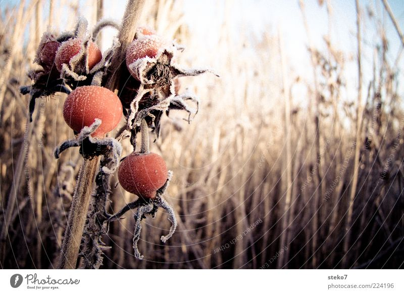 Red Plant Winter Cold Grass Brown Ice Glittering Fruit Frost Dry Stalk Common Reed Freeze Faded Hoar frost