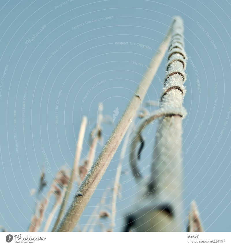 Blue Plant Winter Cold Brown Ice Broken Frost Common Reed Freeze Blue sky Tendril Coil To dry up Cloudless sky Grass