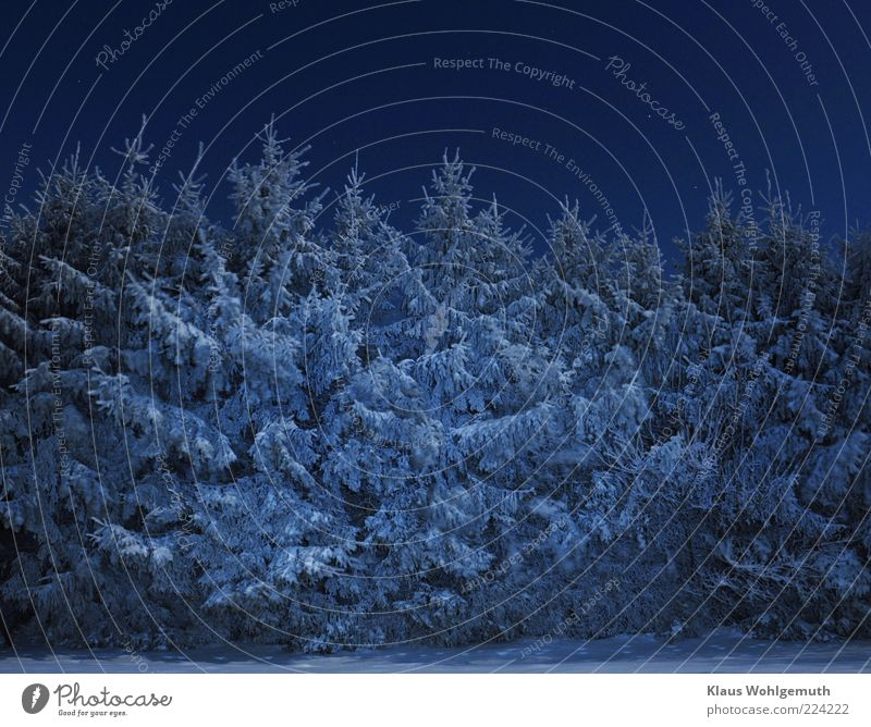The forest shines with Christmas.... Sky Cloudless sky Night sky Winter Ice Frost Snow Tree Forest Blue Silver White Calm Spruce Colour photo Exterior shot