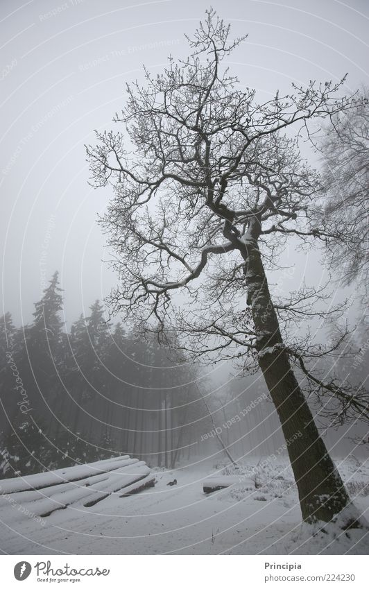 Silence in the winter forest Calm Winter Snow Agriculture Forestry Environment Landscape Fog Tree Lanes & trails Cold Natural Nature Moody Subdued colour