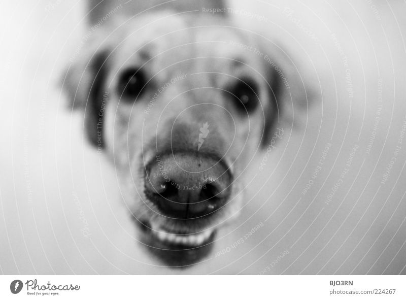 White Black Eyes Animal Dog Nose Dangerous Threat Ear Set of teeth Animal face Anger Pelt Under Stress Testing & Control