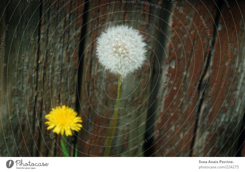 grow up. Plant Flower Dandelion Facade Wood Blossoming Old Gloomy Yellow Colour photo Subdued colour Exterior shot Deserted Copy Space right Faded Wooden wall