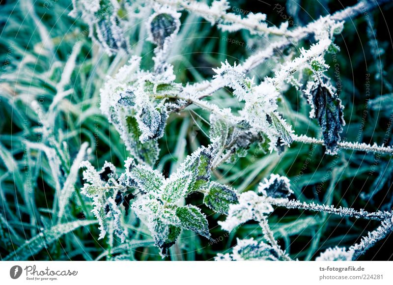 Nettle ripe = Fire and Ice Environment Plant Elements Frost Grass Bushes Leaf Agricultural crop Cold Thorny Green Nettle leaf Stinging nettle Hoar frost Frozen