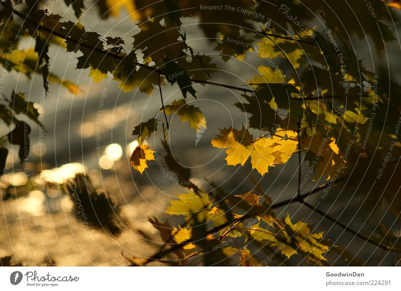 leaf murmur Environment Nature Plant Water Sunlight Autumn Tree Leaf Beautiful Emotions Moody Colour photo Exterior shot Deserted Day Shallow depth of field