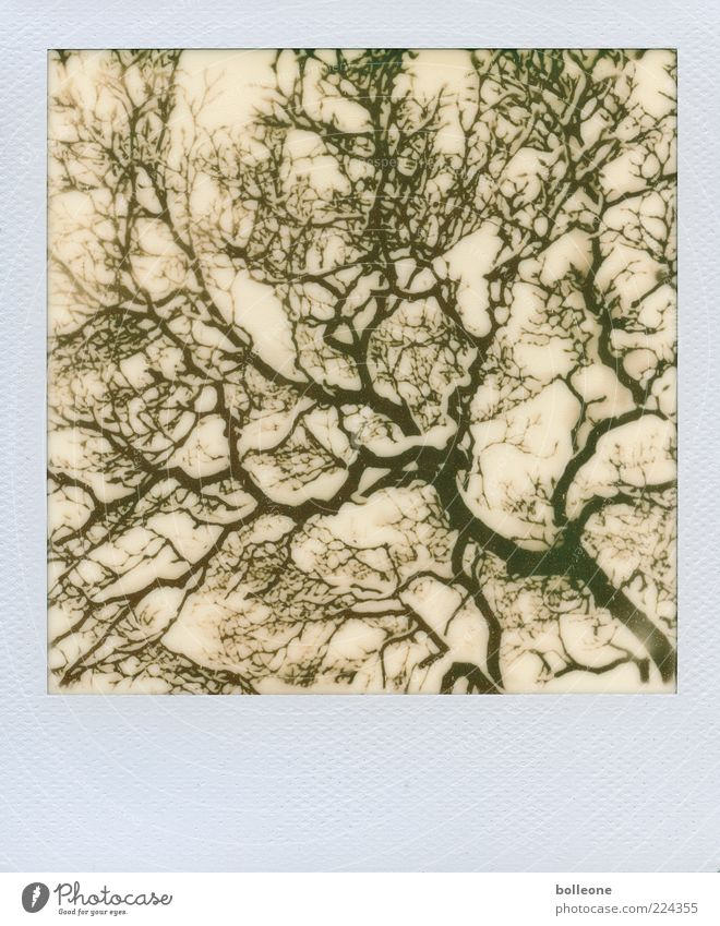 Snowy ramification Environment Nature Plant Winter Ice Frost Tree Wood Esthetic Chaos Network fractal Black & white photo Subdued colour Exterior shot Polaroid