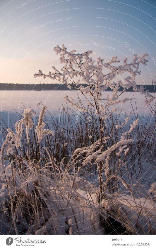 hibernation Winter Snow Nature Landscape Plant Cloudless sky Beautiful weather Grass Bushes Meadow Field Freeze Glittering Cold Blue Silver White Calm