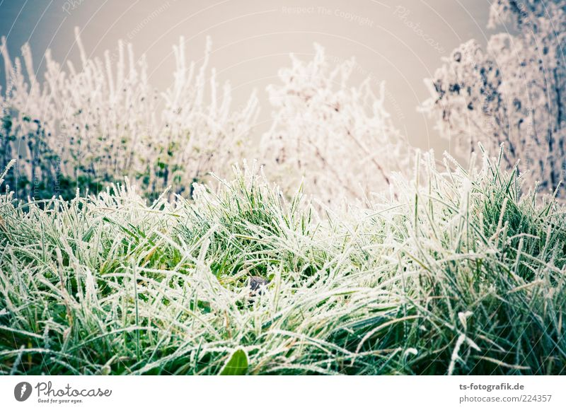 Winter Sugargrass Environment Nature Landscape Plant Elements Weather Ice Frost Snow Grass Bushes Foliage plant Meadow Cold Gray Green White Hoar frost