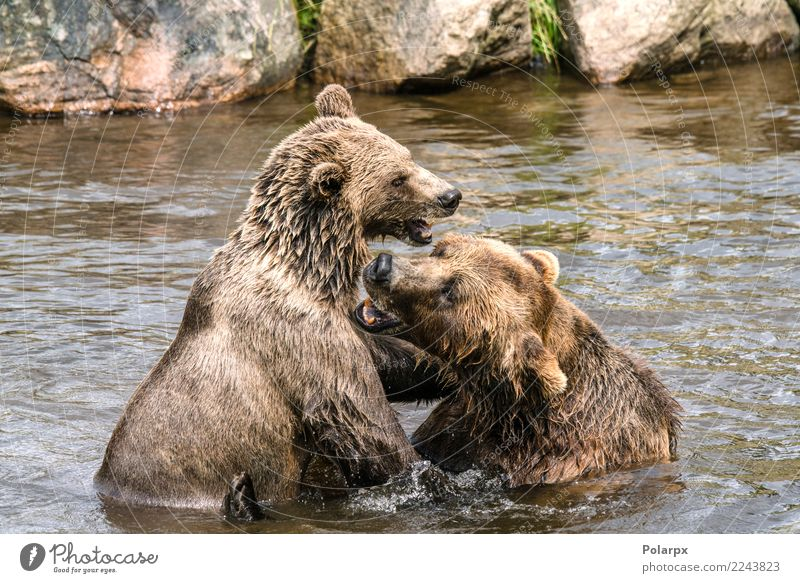 Two bears fighting in a river Life Playing Summer Man Adults Mother Couple Zoo Nature Animal Park Forest Rock Pond Lake River Fur coat Large Natural Strong Wild