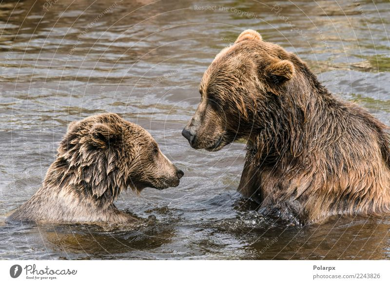 Two bears having a serious conversation in a river Swimming pool Summer To talk Adults Zoo Nature Animal Autumn Pond Lake River Fur coat Observe Dark Large Wet