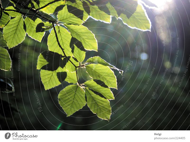 in the light..... Environment Nature Plant Sunlight Summer Beautiful weather Tree Leaf Beech tree Twig Branch Forest Illuminate Growth Esthetic Fresh Natural