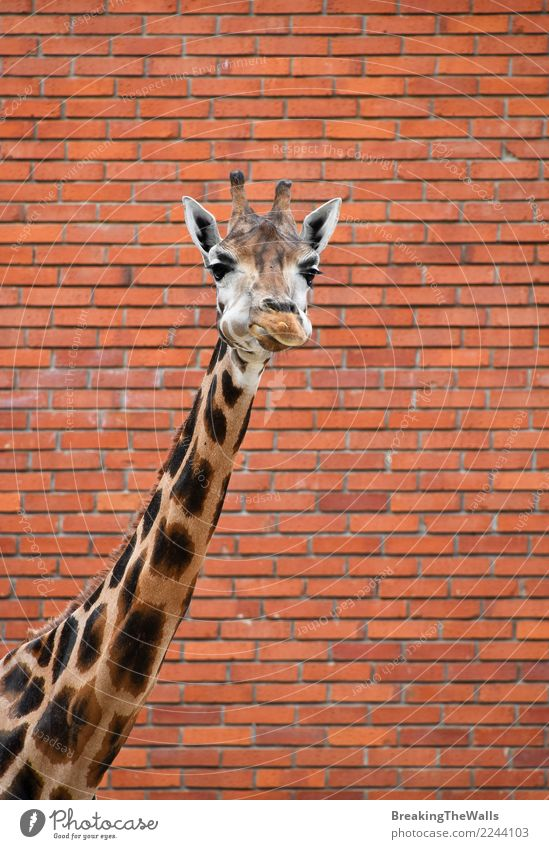 Giraffe portrait over brick wall close up Nature Red Animal Wall (building) Wall (barrier) Wild Head Wild animal Vantage point Long Mammal Watchfulness Zoo