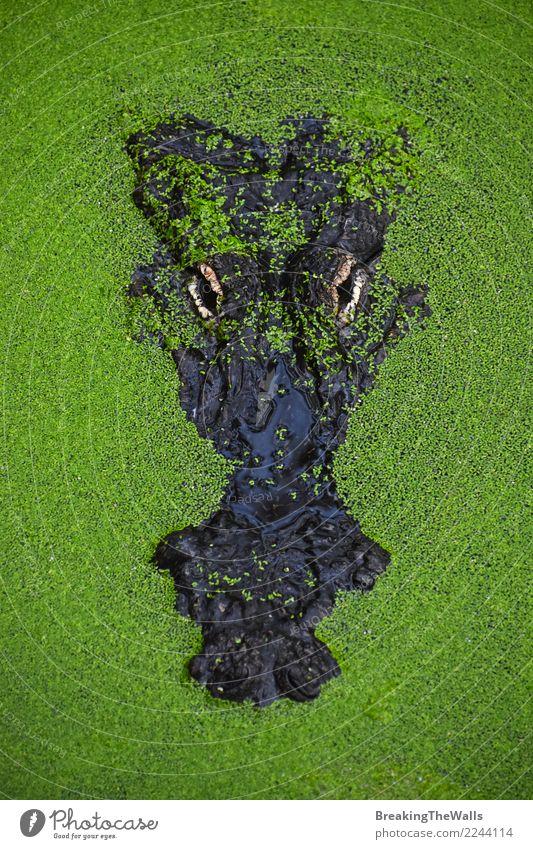 Close up portrait of crocodile in green duckweed Camera Nature Animal River Wild animal Zoo 1 Hideous Green Dangerous Threat Alligator wildlife Carnivore