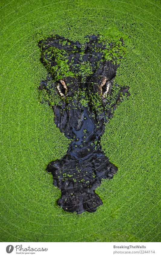 Close up portrait of crocodile in green duckweed Nature Green Water Animal Head Wild Wild animal Dangerous Wait Threat River Camera Hide Zoo Hideous Reptiles