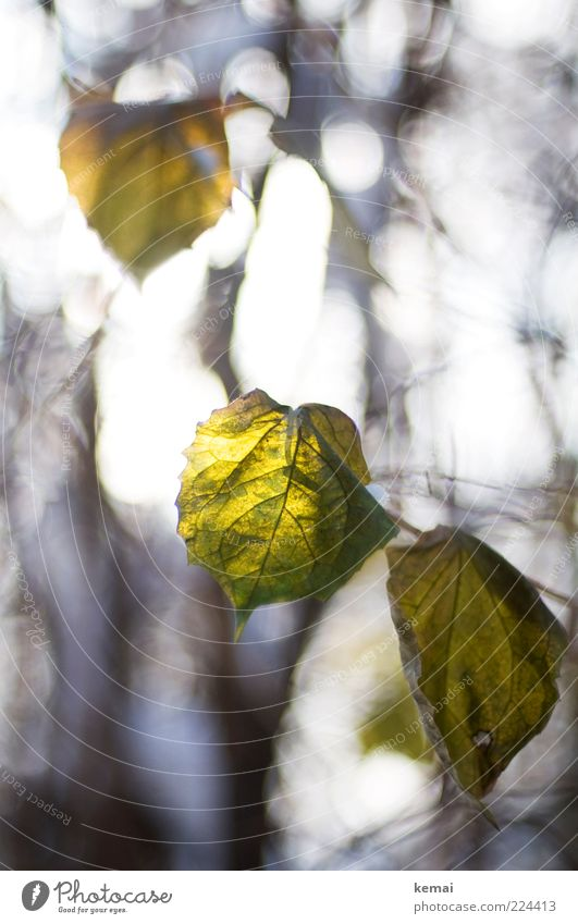 A few more leaves for Helgi Environment Nature Plant Autumn Winter Beautiful weather Bushes Leaf Foliage plant Wild plant Hang Illuminate Growth Bright Green