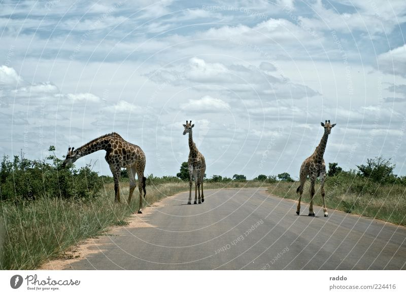 long-necked trio Safari Nature Clouds Summer South Africa Deserted Street Animal Wild animal Giraffe 3 Group of animals Animal family Observe To feed Going