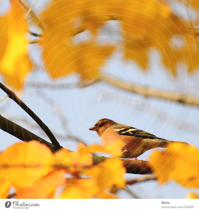 Gotcha! Environment Nature Plant Animal Autumn Leaf Branch Bird 1 Crouch Looking Sit Free Small Natural Cute Blue Yellow Freedom Colour photo Multicoloured