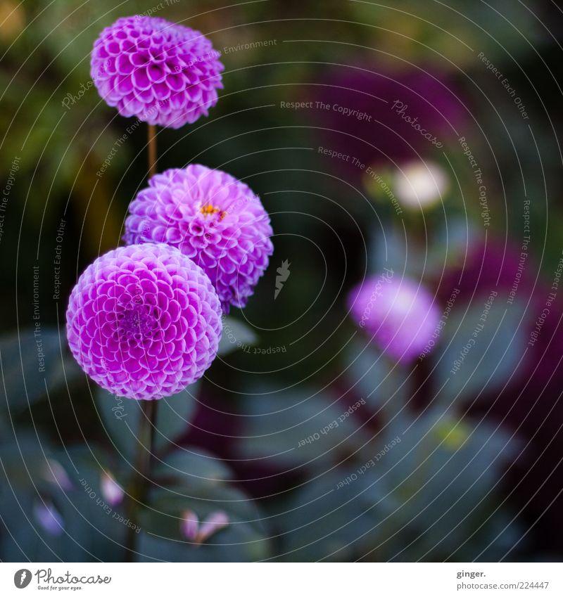 Nature Green Plant Flower Pink Violet Sphere Blossom leave Flowering plant Environment Dahlia Bulb flowers