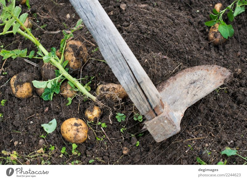Digging of ripe potatoes Vegetable Garden Gardening Hand Plant Earth Fresh Natural Potatoes Harvest field Crops Organic dig food Farm Farmer Ground Agriculture