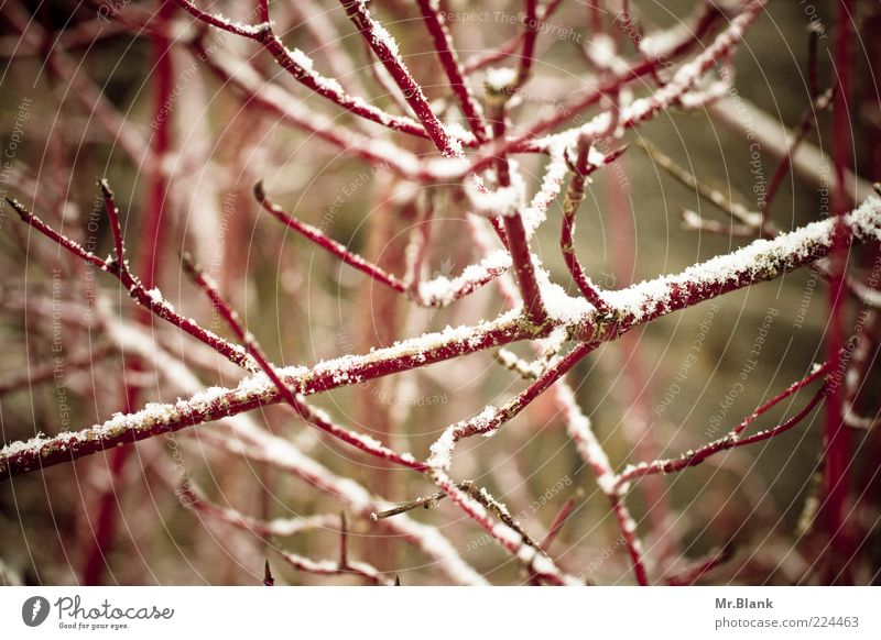 wintry XIII Nature Plant Winter Ice Frost Snow Bushes Dark Cold Brown Red White Loneliness Subdued colour Exterior shot Deserted Day Blur Shallow depth of field