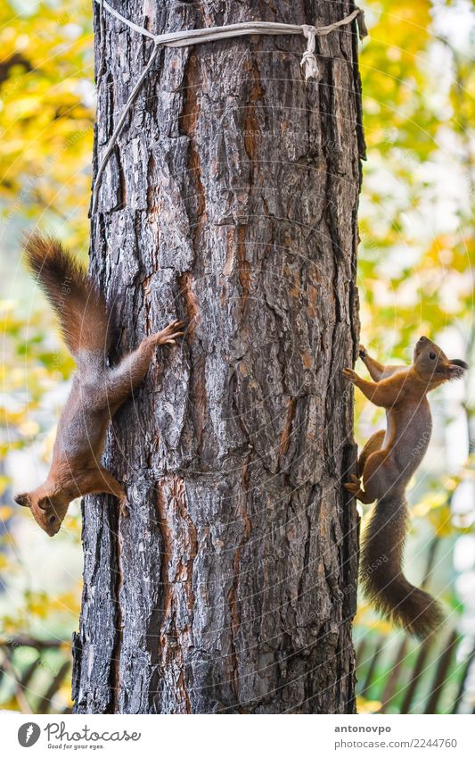 "two squirrels on a pine tree Animal Wild animal Squirell 2 Brown Multicoloured Yellow Green ""natural  yellow  summer  outdoors  small  mammal  outdoor  autumn"