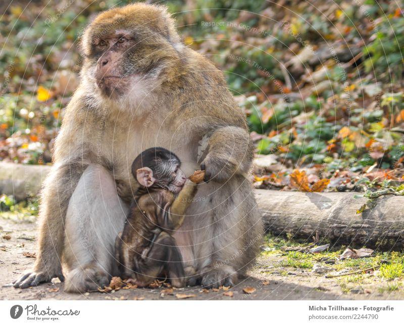family life Fruit Walnut Nut Nature Animal Sun Beautiful weather Plant Tree Leaf Forest Wild animal Animal face Pelt Paw Monkeys Barbary ape Young monkey Eyes