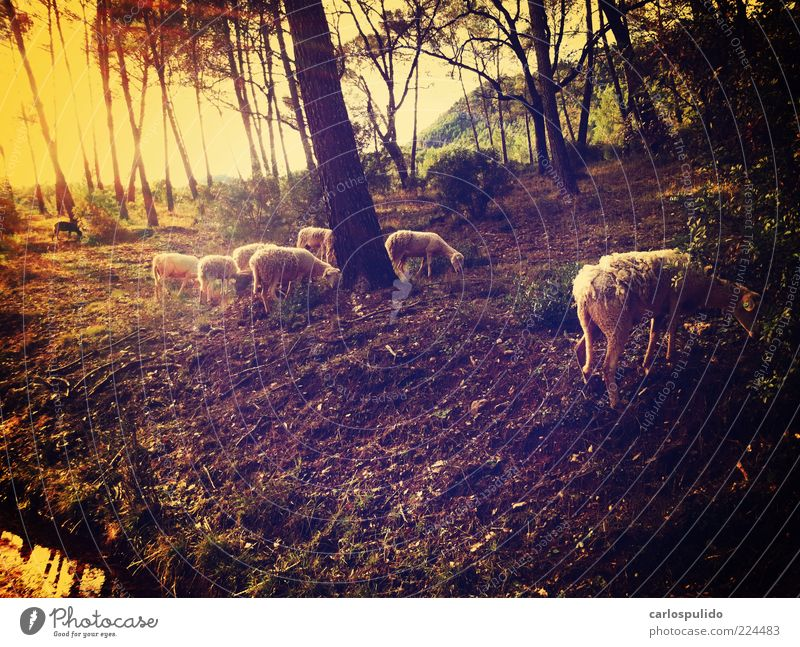 Tree Forest Field Earth Retro Group of animals Spain Pasture Sheep To feed Andalucia Shepherd