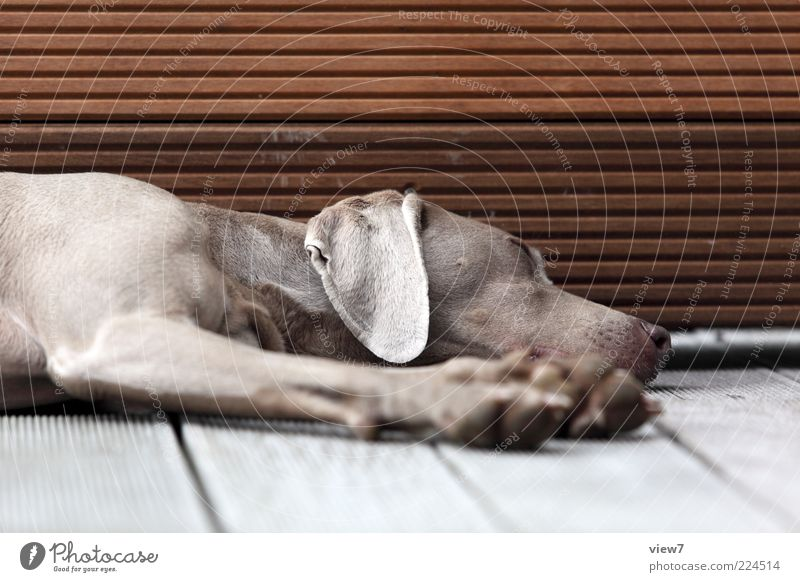 Old Beautiful Calm Animal Relaxation Wood Dream Dog Line Brown Contentment Elegant Sleep Lie Safety Break