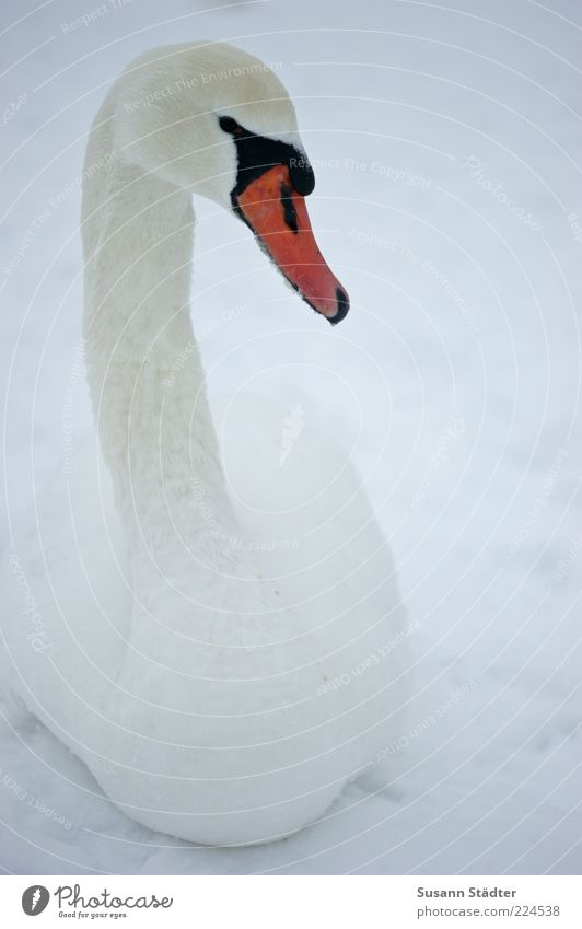 Beautiful Winter Loneliness Animal Snow Head Bird Elegant Wild animal Observe Neck Beak Swan Graceful