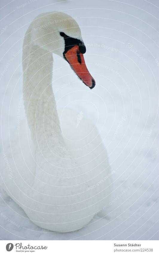 Beautiful Winter Loneliness Animal Snow Head Bird Elegant Wild animal Observe Neck Beak Swan Graceful