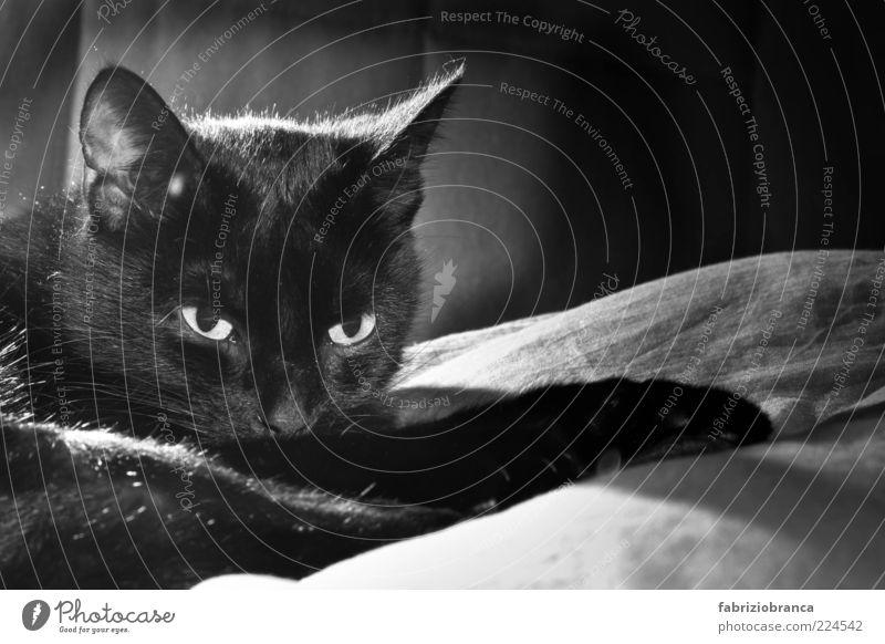 Calm Black Animal Dark Cat Contentment Soft Animal face Cute Pelt Pet Comfortable Domestic cat Black & white photo Indifferent Goof off