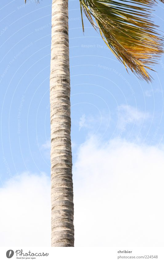 Sky Nature White Blue Summer Clouds Gray Large Growth Thin Palm tree Upward Tree trunk Exotic Direct Partially visible