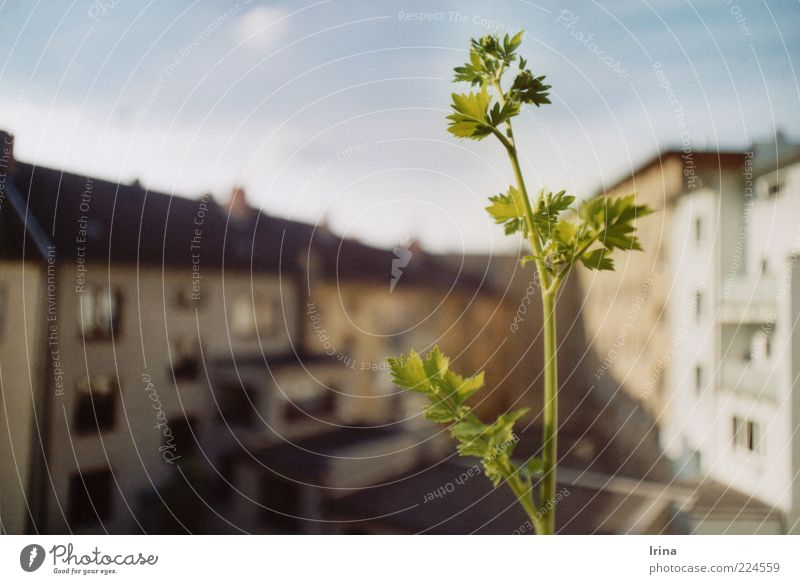 garden state Plant Agricultural crop Maggia herb Bochum Town Roof Backyard Green Leaf green Stalk Shallow depth of field House (Residential Structure) Sunbeam