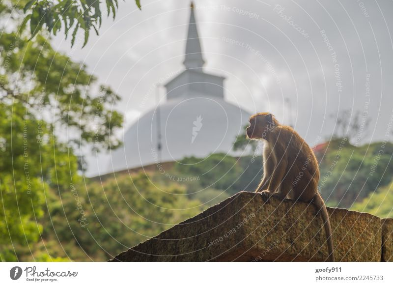 Holy Monkey Vacation & Travel Tourism Trip Adventure Far-off places Sightseeing Storm clouds Sunlight Virgin forest Hill Sri Lanka Asia Palace