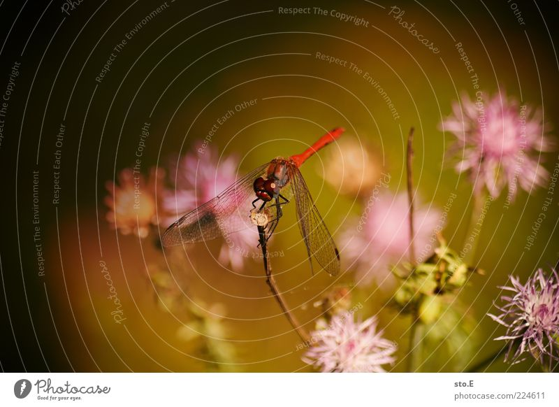 Nature Beautiful Red Plant Summer Flower Animal Blossom Environment Spring Sit Uniqueness Insect Dragonfly Morning Dragonfly wings