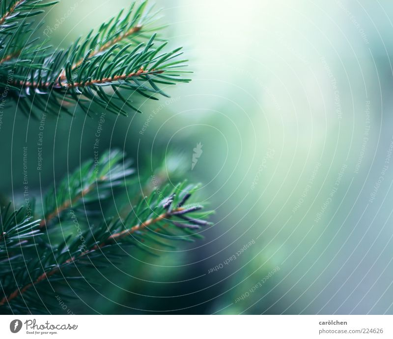 twigs Environment Nature Tree Blue Green Twig Fir branch Fir tree Coniferous trees Fir needle Colour photo Detail Deserted Copy Space right