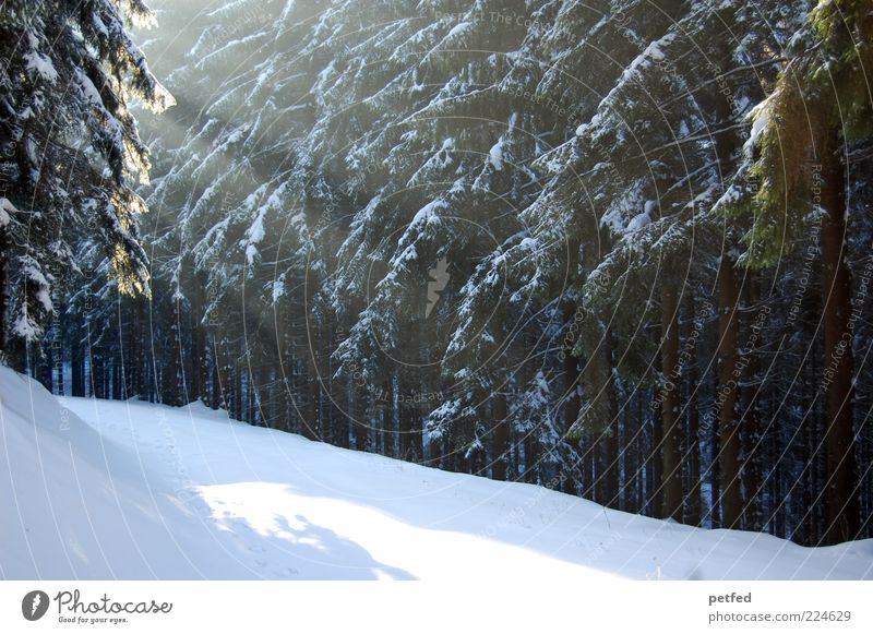 Tree Calm Winter Forest Cold Snow Lanes & trails Beautiful weather Footpath Winter vacation Coniferous trees Shaft of light Coniferous forest Winter mood Edge of the forest Snow layer