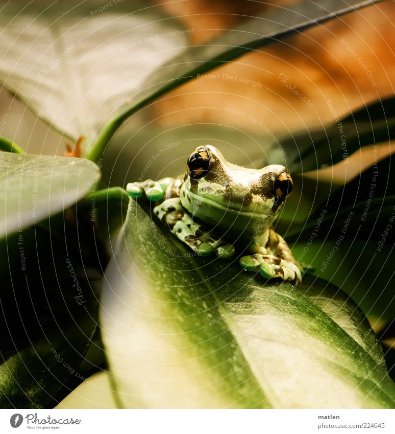 Green Plant Leaf Animal Head Bright Brown Contentment Wait Glittering Sit Observe Serene Frog Exotic Animal portrait